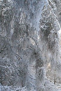 Trees weighed down by weight of ice, which formed after rain in December, and was then covered with snow. Many trees have broken and branches are bent  to the ground by the weight. This unusual phenom...  -  Konstantin Mikhailov
