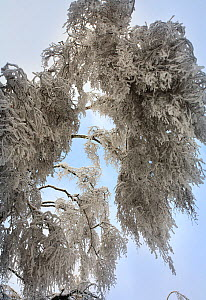 Birch tree weighed down by weight of ice, which formed after rain in December, and was then covered with snow. Many trees have broken and branches are bent  to the ground by the weight. This unusual p...  -  Konstantin Mikhailov
