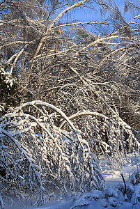 Trees, mainly Birch,  weighed down by weight of ice, which formed after rain in December, and was then covered with snow. Many trees have broken and branches are bent  to the ground by the weight. Thi...  -  Konstantin Mikhailov