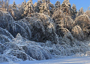 """The forest after"""" ice rain"""" phenomenon and several snowfalls when many trees have been broken and bent up to the ground  as result of increased weigt of the crowns. January 2011. Central part of Russi...  -  Konstantin Mikhailov"""