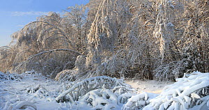 """The forest after"""" ice rain"""" phenomenon and several snowfalls when many trees have been broken and bent up yo the ground  as result of increased weigt of the crowns. January 2011. Central part of Russi...  -  Konstantin Mikhailov"""
