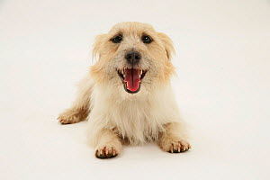 Rough coated Jack Russell Terrier, tan and white, lying down, panting - Mark Taylor