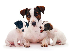 Smooth coated Jack Russell Terrier, black, tan and white, female with two 8 week puppies  -  Jane Burton