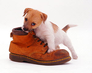 Rough coated Jack Russell Terrier puppy, tan and white, chewing a boot  -  Jane Burton