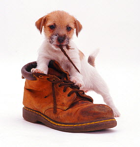 Rough coated Jack Russell Terrier puppy, tan and white, chewing a boot shoelace  -  Jane Burton