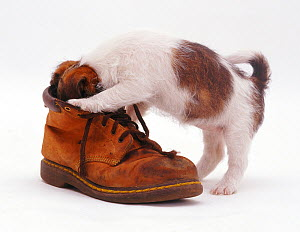 Rough coated Jack Russell Terrier puppy, tan and white, playing with a boot  -  Jane Burton
