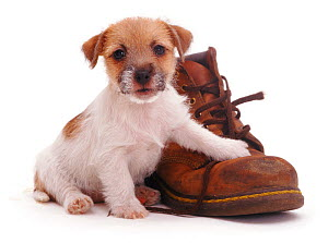 Rough coated Jack Russell Terrier puppy, tan and white, with a boot  -  Jane Burton
