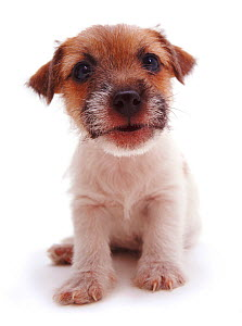 Rough coated Jack Russell Terrier puppy, black, tan and white, portrait  -  Jane Burton