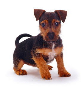 Rough coated Jack Russell Terrier puppy, black and tan, portrait  -  Jane Burton