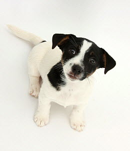 Smooth coated Jack Russell Terrier puppy, black and white, 9 weeks, sitting, looking up  -  Mark Taylor