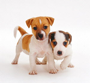 Two smooth coated Jack Russell Terrier puppies,  tan and white, 6 weeks,  -  Jane Burton