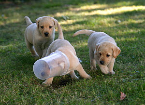 Dog, Labrador Retriever, three yellow puppies playing with plastic container, 10 weeks - Yves Lanceau