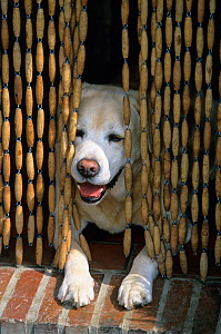 Labrador Retriever, yellow dog lying in doorway in cool of room behind bead curtain, France - Yves Lanceau