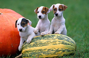 Dog, Jack Russell Terrier, three puppies with pumpkin  -  Yves Lanceau