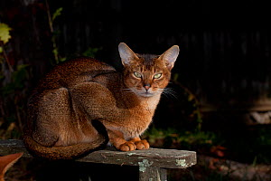Abyssinian cat sitting on old, lichen-encrusted bench, Connecticut, USA - Lynn M Stone