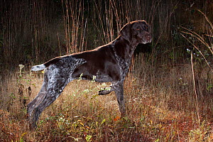 German Shorthair Pointer on point in field in early morning, Connecticut, USA, October  -  Lynn M Stone