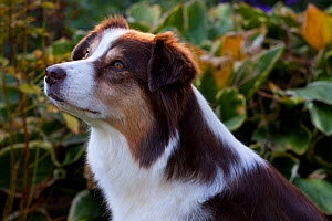 Portrait of Australian Shepherd in front of autumn garden plants, Massachusetts, USA - Lynn M Stone