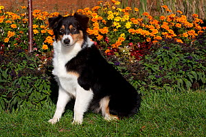 Australian Shepherd sitting in front of autumn garden plants, Massachusetts, USA - Lynn M Stone