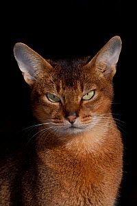 Portrait of Abyssinian Cat, Connecticut, USA - Lynn M Stone