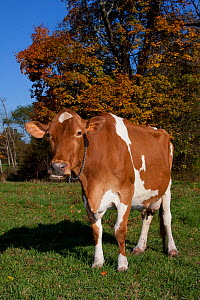 Guernsey cow chewing cud, in pasture, with Sugar Maple tree in background, October, Connecticut, USA  -  Lynn M Stone