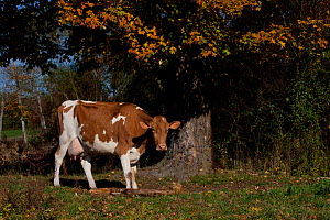 Guernsey Cow standing in autumn pasture by Sugar Maple tree, autumn, Connecticut, USA  -  Lynn M Stone