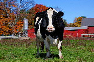 Holstein Cow in autumn pasture with Sugar Maple Trees and farm buildings in background, Granby, Connecticut, USA  -  Lynn M Stone