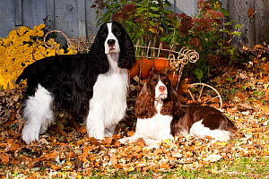 Pair of English Springer Spaniels, one black and white, one liver and white, amongst autumn leaves with pumpkins in cart, Illinois, USA - Lynn M Stone