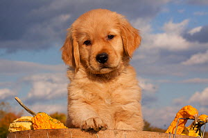 Portrait of Golden Retriever puppy with paw on rim of basket full of gourds, Connecticut, USA - Lynn M Stone