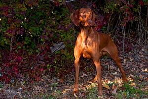 Hungarian Vizsla standing in shade by autumn foliage, Connecticut, USA  -  Lynn M Stone