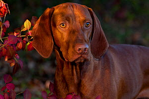 Hungarian Vizsla portrait amongst autumn foliage, Connecticut, USA - Lynn M Stone