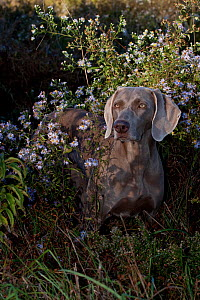Weimaraner amongst wild aster flowers and grasses, Connecticut, USA (LG)  -  Lynn M Stone