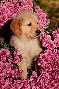 Golden Retriever puppy amongst Chrysanthemum flowers, Illinois, USA - Lynn M Stone