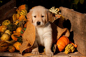 Golden Retriever puppy, 6 weeks, amongst gourds, Illinois, USA - Lynn M Stone