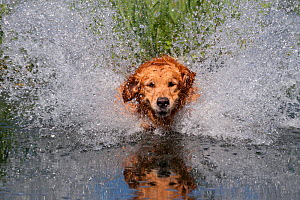 Golden retriever splashing through water, USA - Lynn M Stone