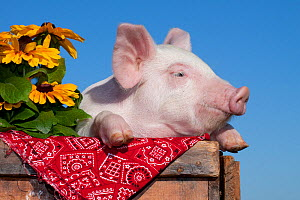 Domestic pig, White piglet in wooden case with black-eyed susan flowers and red kerchief, Illinois, USA - Lynn M Stone