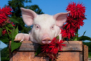 Domestic pig, White piglet in wooden case with bee balm flowers, Illinois, USA - Lynn M Stone