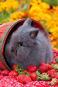 Domestic Lions-Head Rabbit, juvenile by red basket and strawberries, Illinois, USA  -  Lynn M Stone