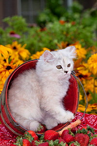 Persian kitten (baby doll type) in strawberry basket, Illinois, USA - Lynn M Stone