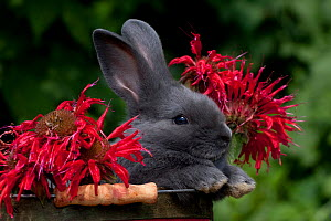 Domestic rabbit, baby blue New Zealand (breed) rabbit peering over lip of red basket with bee-balm flowers, Illinois, USA  -  Lynn M Stone