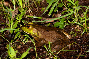 Bullfrog (Rana catesbeiana) on edge of pond, Connecticut, USA - Lynn M Stone
