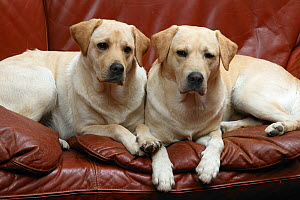 Two Yellow Labrador retrievers lying side by side on sofa, property released  -  Yves Lanceau