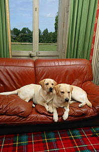 Two Yellow Labrador retrievers lying side by side on sofa below window in house. Property released  -  Yves Lanceau