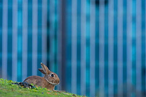 Rabbit (Oryctolagus cuniculus) sitting on grass in a Paris park. France.  -  Laurent Geslin