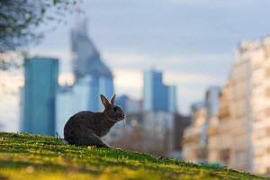 Rabbit (Oryctolagus cuniculus) sitting on grass in a Paris park with buildings behind. France. - Laurent Geslin