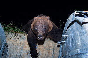 Brown bear (Ursus arctos) climbing over wall to reach rubbish bins. Brasov, Romania.  -  Laurent Geslin