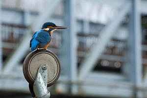 Kingfisher (Alcedo atthis) perching on the wheel of a shopping trolley in the heart of a city.  -  Laurent Geslin