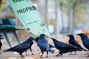 Carrion crow (Corvus corone) tearing at rubbish bag in urban park, Paris, France  -  Laurent Geslin