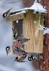 Coal Tits (Periparus ater) on feeder in winter. Glenfeshie, Scotland, February. - Peter Cairns