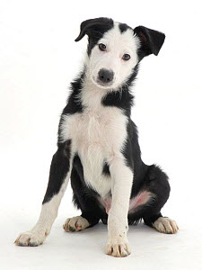 White-faced black-and-white Border Collie puppy. - Jane Burton
