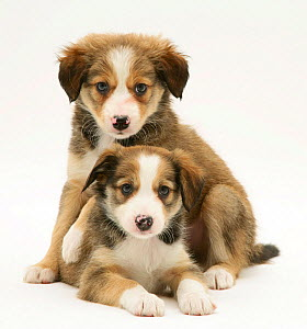Two Sable Border Collie puppies. - Jane Burton
